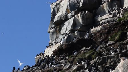 mutual assistance : Bird rookery in Franz-Joseph Land, Rocks, lots of Brunnichs guillemot (Uria lomvia), retro shooting