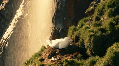 bird list : Glaucous gull (Larus hyperboreus) sitting on nest, background of waterfall and meadows. Franz-Joseph Land, High Arctic Stock Footage