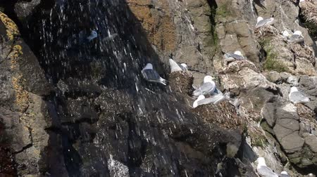 kittiwake : Kittiwakes (Rissa tridactyla) in nests, waterfall. Bird rookery in Franz-Joseph Land Stock Footage