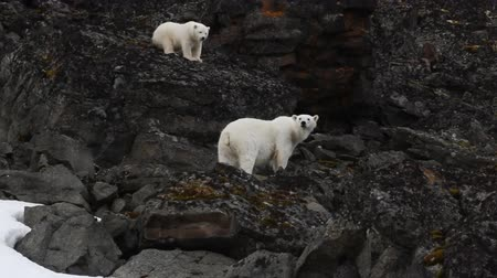 climbed : Polar Bears on Franz-Joseph Land. Female and cub climbed on rocks after meeting with man as to take position above its enemy