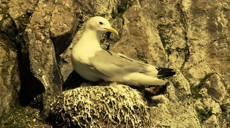 kittiwake : Kittiwake (Rissa tridactyla) and chick in nest. Chick to produce bowel movement on edge of nest so as to comply clean nest