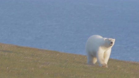 polar circle : Polar bear (Ursus maritimus) wanders among polar gravelly desert. Approaching to photographer