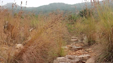 subtropics : Rolling foothills of Deccan plateau covered with grasses and acacia bushes. Camera moves among tall grass