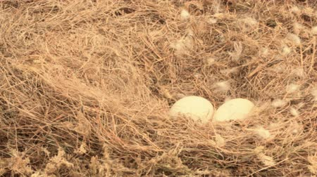 propagation : Huge eggs. Laying eggs and nest of Whooper Swan on rised bog. Wind flutters famous swan down Stock Footage