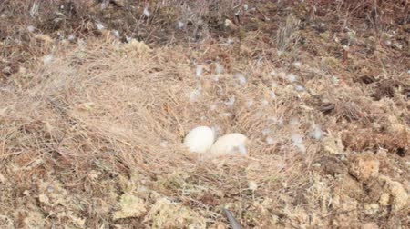 rebirth : Huge eggs. Laying eggs and nest of Whooper Swan on rised bog. Wind flutters famous swan down Stock Footage