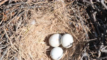 predatory bird : Rough-legged Buzzard nest with eggs Stock Footage