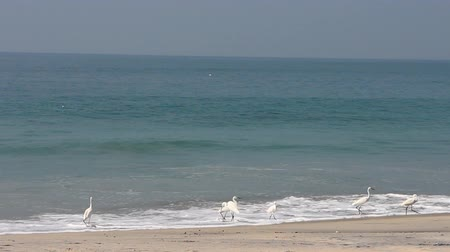 synanthropic animals : Typical birds of India in typical biotope 17. Many little egrets (Egretta garzetta) on shore of ocean catch fish in surf. Picture exotic videos
