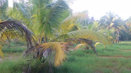 boggy : Areca palms (Arecaceae), growing in boggy area (swampland). Domestic ducks. Kerala