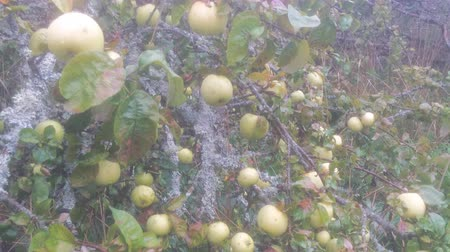 elhagyatott : abandoned five or six years ago an Apple orchard. most eco healthy apples 4K Stock mozgókép