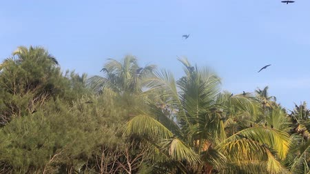 assombro : huge number of Indian house crows and some kites gathered in palm grove (camp bird). Kerala, India Vídeos