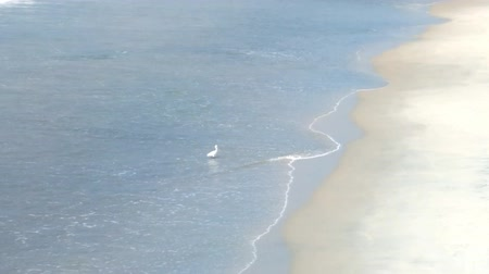 synanthropic animals : Little egret feeding in surf by hydrobionts, which washes away wave. Shooting from above