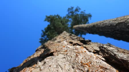 softwood forest : Old pine tree. View shooting along trunk, from bottom up