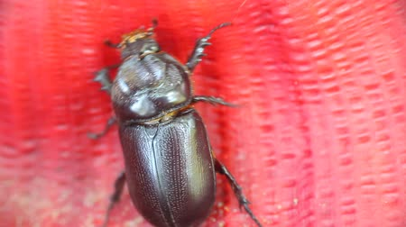 escarlate : Rhinoceros beetle crawling on red corrugated surface of leaf. Kerala. India Stock Footage