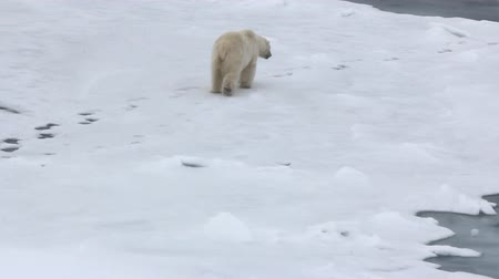 charakteristický : Polar bear at North pole (86-88 degrees). Fat bear male goes back on its own trail