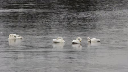 superb : Whooper Swans on migration stop-over. For birds in flock is characterized by uniformity of behavior. Mass preening