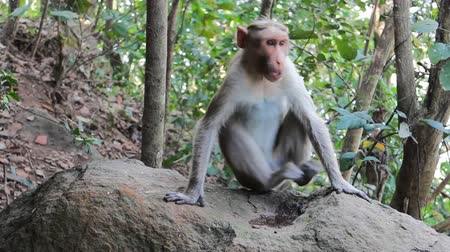 bitki : Vivid pictures of the lives of the Indian macaques: go and sits on stones Stok Video