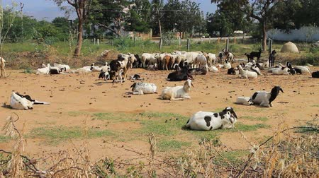 livestock sector : Dry, hilly Prairie of Deccan plateau (India). Sheep in corral of thorny branches of acacia