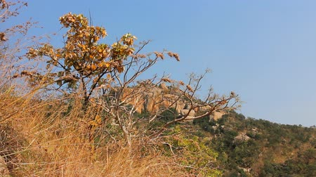 subtropics : Wild grasses on the plateau of Central India. Ripening in winter