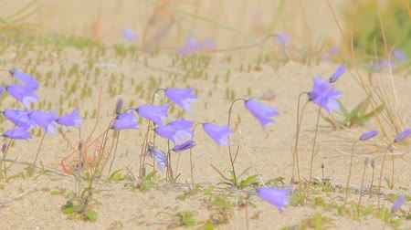 dene : Cute little bluebell (ladys-thimble, witches-bells, bluebell of Scotland Campanula rotundifolia) tremble in wind, among sand dune Stock Footage
