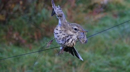 cativeiro : Field scientific research. Ornithologists caught and ringed birds to study migration routes and wintering. In mist net got Meadow pipit