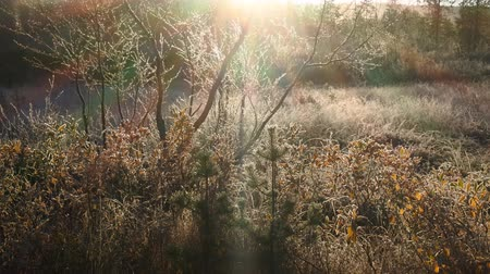 luster : Late autumn night frosts. Filming shrubs in frost in backlighting, bright rays
