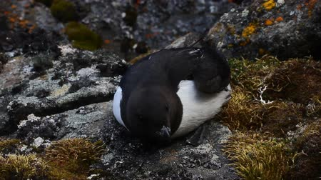 rookery : Sea birds of high Arctic (the North). Little auk special subspecies (Alle alle polaris), Franz-Josef Land