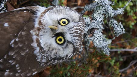 harridan : Tengmalms owl (boreal owl, Aegolius funereus) in typical environment of taiga (boreal coniferous forest) Stock Footage
