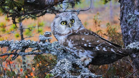flying witch : Tengmalms owl (boreal owl, Aegolius funereus) in typical environment of taiga (boreal coniferous forest) Stock Footage