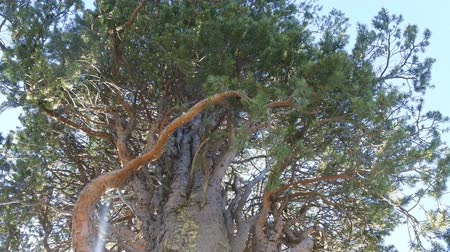 vassoura : Witches broom pine affected by pest (fungus Crinipellis perniciosa). But in middle ages thick tree - broomstick for witch. Bo tree