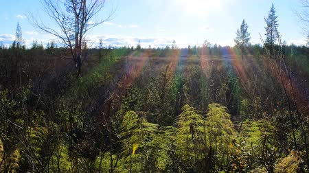 podsvícení : Indian summer in Scandinavian forests. Millions of webs on branches - mass air migration of young spiders. Rainbow rays, backlighting Dostupné videozáznamy