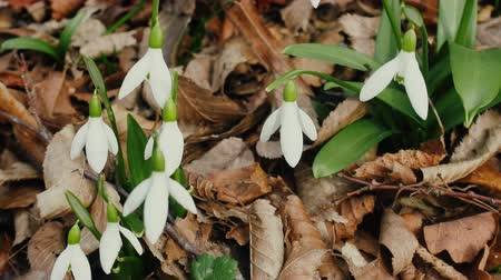 vernal : Flower of life, Primavera. Thousands of years Snowdrop pleased with Northern residents as flower of end of winter. Sweet-William (Galanthus nivalis)