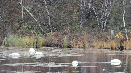 bird ecology : Sample of elegance and pure beauty. Autumn migrating whooper swan (Cygnus cygnus) stopped for rest and feeding on taiga river