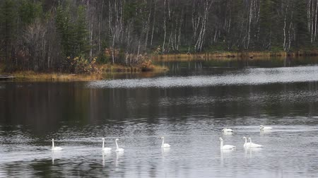 requintado : Sample of elegance and pure beauty. Autumn migrating whooper swan (Cygnus cygnus) stopped for rest and feeding on taiga river