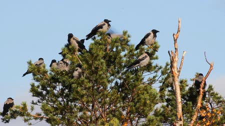 synanthropic animals : Hooded crow (Corvus cornix) are also migratory birds. Flock of migratory hooded crows resting in pine. Comfortable state of plumage, habitus of rest