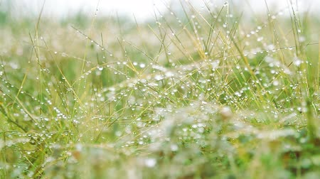 dewy : Magnificence of living nature. Green grass leaves with drops of dew like string of pearls.  Grass wet with dew sways in weak wind, springtide