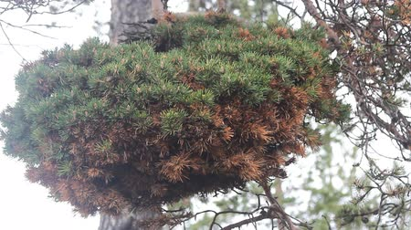 kořist : Pathobiology, dendrology. Huge witch-brooms disease on pine tree - result of hitting tree rust fungus or Phytoplasma. myth - witches spoil gardens, weaving brooms