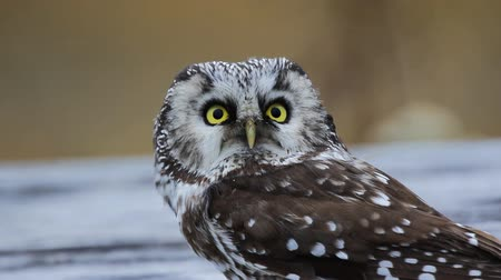 flying witch : Bird of Minerva. Tengmalms owl (Aegolius funereus). Boreal coniferous forest (taiga) inhabitant