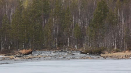 alce : Northern region, spring. Pregnant moose cow becomes mountain stream