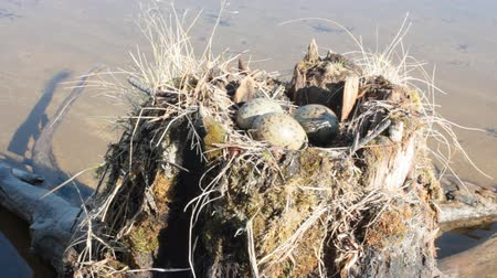 kavramak : Guide bird nest for birdwatchers. Unusual way of nesting. Common gull made nest on top of stump in water Stok Video