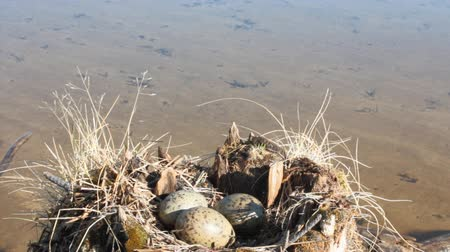 replication : Guide bird nest for birdwatchers. Unusual way of nesting. Common gull made nest on top of stump in water Stock Footage