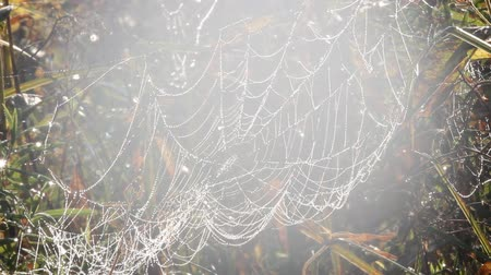 intricacy : web in dew and sunshine among. Morning Sunny yet misty day,  beauty of nature in summer