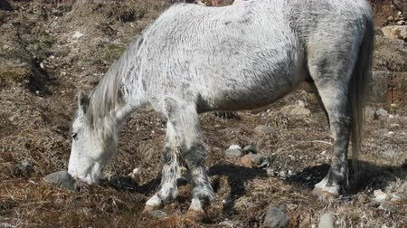 captive : Asian feral horse. Long hair, low body, small and rectangle narrow head. Such horses used by the Mongol-Tatar invaders in the middle ages. Caucasus Stock Footage