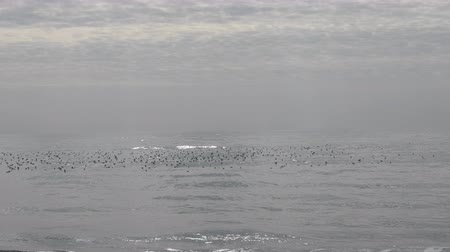 naživu : Calm. Lot of birds on shimmering silver surface of sea. Seagull. Sky in cloud-lambs Dostupné videozáznamy