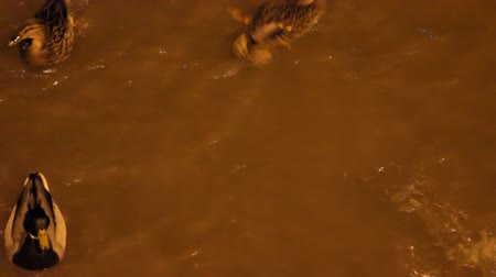 странный : City ducks on stormy night  river in lantern light. Competition for food Стоковые видеозаписи