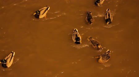 synanthropic animals : City ducks on stormy night  river in lantern light. Competition for food Stock Footage