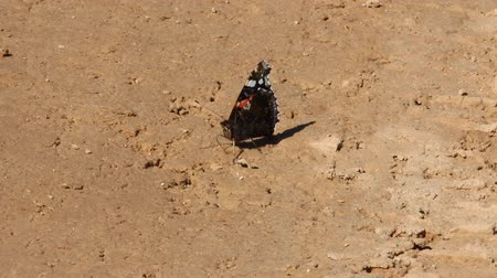 çiftleşme : Red admiral (Pyrameis atalanta) butterfly sitting on dirt road, sucks water. Sharp wings spread out to attract marriage partner and scare predator