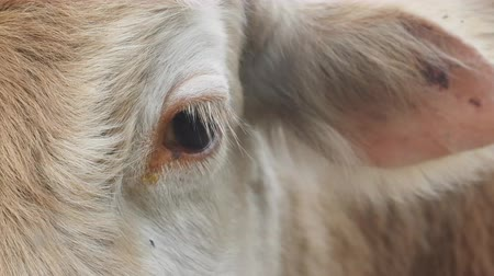 precisão : Cow and cow bothersome muscas (face fly, Musca autumnalis), need (benefit) for long ears. Flies are harmful to fattening of cows and milk yield. Eye and ear cow closeup Stock Footage
