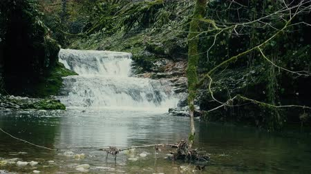 subtropics : Subtropics in winter. Mountain stream with waterfall. Shooting is done through tropical undergrowth epiphytes and evergreen plants, sound of water.