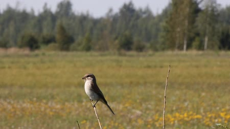 poleiro : Red-backed Shrike (Lanius collurio) in fields on roost site looking for victim, hunt for insects. Height of summer, haze