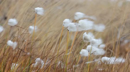 como : Like a blade of grass in the wind. Meadow grass and cotton-grass flowers shaking in strong wind, herbage.